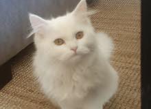 قطه انثي شيرازيه