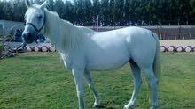 مجموعة خيول للبيع (مجموعة يديدة)