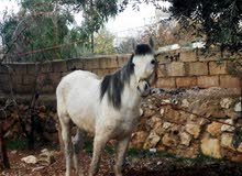 حصان عمال ساغ على العودين كفاله عمر 6سنوات