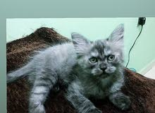 Persian pure 1 month