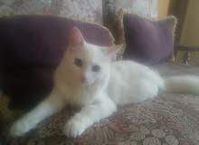 قطط شرازي انقورا (،انثى) عمرها سبع شهور