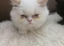 قطط هيمالايا نوع عالي للبيع