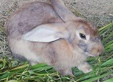 ارنب هولندي للبدل