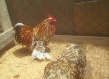 دجاجة زهرية للبيع