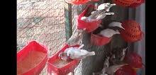 طيور جنة لقطة طفرات وعادي للبيع
