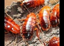 شركة متخصصون فى مكافحة الحشرات الصراصير