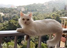 بيلا قطة بيضاء مميزة جداً وغنوجة 150 الف