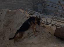جروه كستم العمر 9 شهور كلبه مشالله هاديه ومطيعه