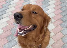 ابحث عن كلب جولدن انثى بسعر مناسب العمر سنة فما فوق