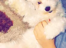 كلب مالتييز/Maltese dog