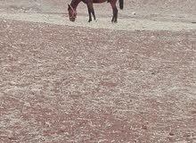 مهر عمر سنتين بدل على حصان حراث