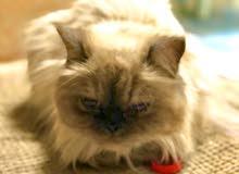 قطط للبيع بسعر مغري