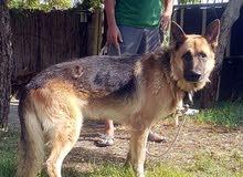 مطلوب كلب هاسكي أو جيرمن للبيع ب700 مستعجل