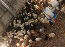 صيصان دجاج عماني سعر الصوص 190بيسه