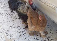 دجاج و فروج نوع براهما