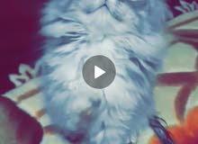 قطة مكس شانشيلا بيور هملايا