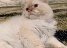قط هملايا بيوور أورنج Himalayan Cat Orange pure