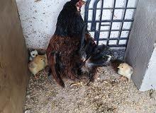 دجاجة بلدية وراها 6 صيصان