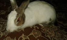 ارنب لونه ابيض لبيع