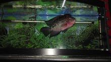 سمكة فلورهورن حجم جيد جدا