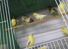 كناري و حسون و طيور برية مستوى عالي