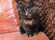 قطة لببيع
