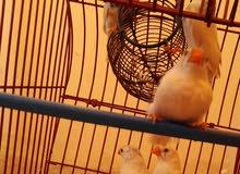 طيور الجنة للبيع