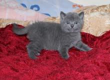 pure british blue قطط بريتش بلو للبيع