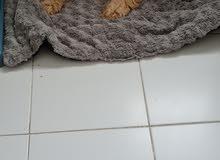 cavapoodle