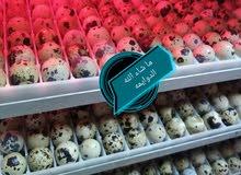 بيض فري جانبو مخصب للاكل والفقاسات