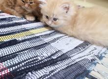 شيرازي shiraz kitten