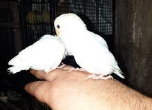 طيور حب . فراخ الوان جميله صحة جيده احجام جامبوا .