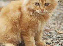 للبيع قطط ذكر وانثى فصيلة مون فيس