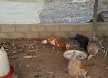 دجاج و بط و رومي و حبش