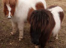 مطلوب حصان بوني انثى