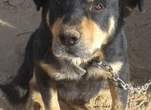 كلب ((روت وايلر )) للبيع ومدرب انجليزي