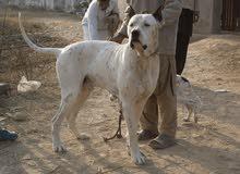 بولي كوتا ( الباكستاني )