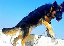 كلب جيرمن شيبرد لونج هير