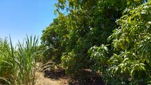مزرعه 15 فدان مانجو وزيتون بمنطقة الجناين محافظة السويس