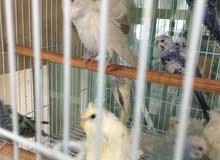 للبيع مجموعة طيور هوغو عدد 30 طير