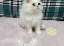 himalayenne kitten