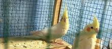 مطلوب طيور كوكتيل بزارات وبسعر مناسب ومال بيت