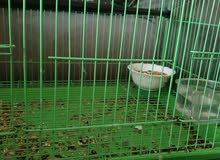 طيور روز للبيع في صلاله
