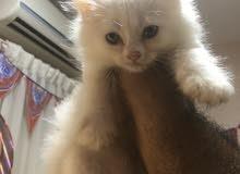 قطط شيرازي صغيرة للبيع لدواعي السفر