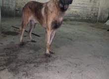 مالينو malino كلب مالينو دكر