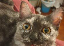 للتبني قطة أنثى شيرازية النوع فلبيني