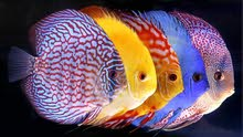 مطلوب سمكة الديسكس