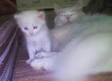 قط صغيرة عمره شهر نوع الام شيرازي