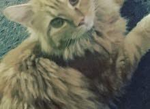 قط رائع شيرازي وفروه ناعم وكثيف لونه بيج على ذهبي مذهل وفضيع