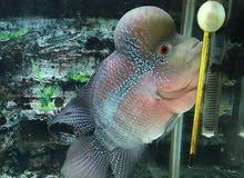 سمكه ذكر فلور هورن صحه ممتازه ألوان ممتازه